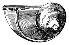 Snail Shell Used During The Renaissance As A Drinking Vessel, Vintage Engraving.