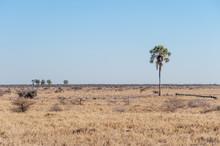 Randomly Scattered Palm Trees In Etosha National Park, Namibia