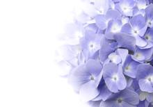 Beautiful Petal Of Purple Hydrangea Or Hortensia Flowers (Hydrangea Macrophylla) Fading Into White Background. Soft Dreamy Feel. Nature Background.