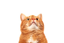 Ginger Cat Looking Up Isolated...