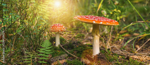 Toxic and hallucinogen mushroom Fly Agaric in grass on autumn forest background Tablou Canvas