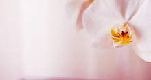 Pink Orchid Flower In Bloom, A...
