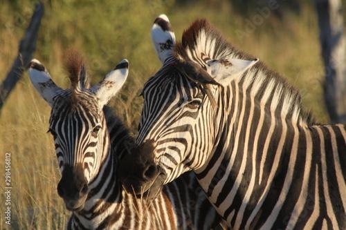 Autocollant pour porte Zebra zèbres à l'aube