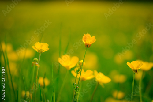 Fotobehang Narcis Close up view of wild Buttercups seen in an english summer meadow.