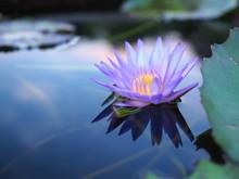 Beautiful Purple Lotus Flowers