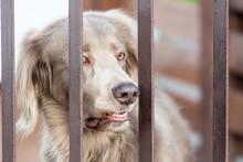 Watchdog Behind Fence Picking Up Teeth