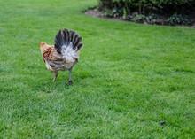 Young Bantam Hen Seen Running ...