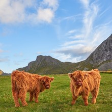 Highland Cattle Mother And Her...