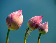 Pink Lotus Flower, Lotus Flowe...