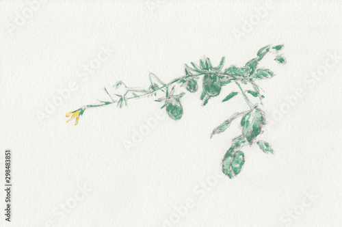 Fotografia  Tomaterio com tomates verdes e flor