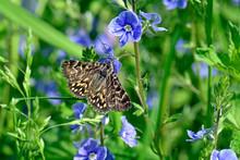 Scheck-Tageule (Euclidia Mi) - Mother Shipton Moth