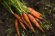 canvas print picture - Bunch of organic dirty carrot harvest in garden on ground