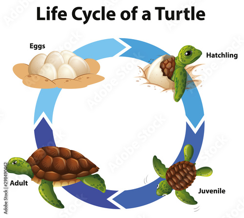 Diagram showing life cycle of sea turtle Wallpaper Mural
