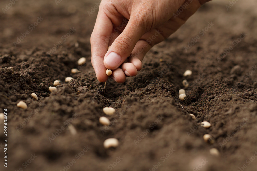 Fototapeta Hand growing seeds of vegetable on sowing soil at garden metaphor gardening, agriculture concept.