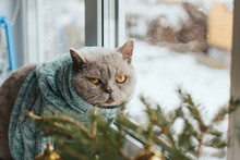 A Gray Cat In A Blue Knitted ...