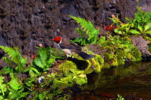 Curious Bird Called Red Crested Cardinal