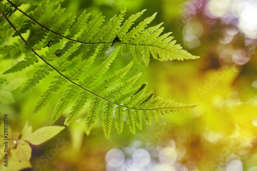 Fototapeta young fresh and bright green leaves of fern against blurred natural forest folia