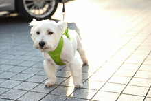 Adorable West Highland White T...