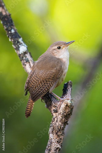 Fotobehang Vogel Troglodytes aedon, House wren The bird is perched on the branch in nice wildlife natural environment of Trinidad and Tobago..