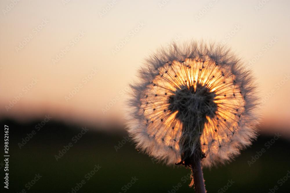 The sun illuminates a dandelion at sunset. Meadow at sunset. Close-up of dandelion in the sun