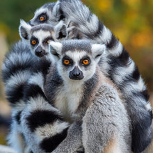Portrait Of A Lemur Catta