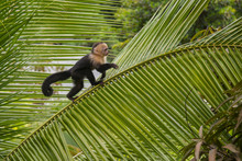 Capuchin Monkey On A Tree