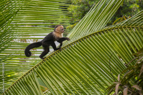 Fotografie, Tablou Capuchin monkey on a tree in Costa Rica