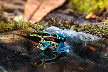 Poison Arrow Frog, Dendrobatid...