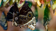 Giant Exotic Butterfly, Giant Owl Butterfly Caligo