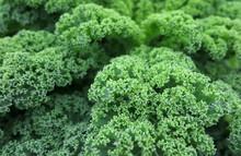 Grünkohl - Kale - Brassica Oleracea