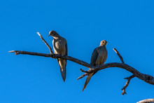 Mourning Dove Couple Sharing T...