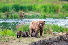 Wild Brown Bear Family With Mom And Three Resting Young Cubs.