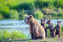 Wild Brown Bear Family With Ma...