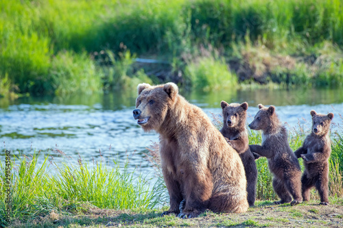 Valokuvatapetti Wild brown bear family with mama and three standing young cubs.