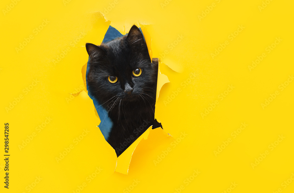Fototapety, obrazy: Funny black cat looks through ripped hole in yellow paper. Peekaboo. Naughty pets and mischievous domestic animals. Copy space.
