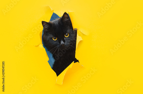 Funny black cat looks through ripped hole in yellow paper. Peekaboo. Naughty pets and mischievous domestic animals. Copy space.