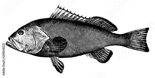 Red Grouper, vintage illustration. Fototapet