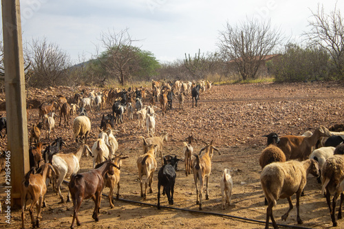 Photo A flock of goats in a drought land