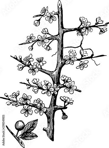 Valokuva Sloe vintage illustration.