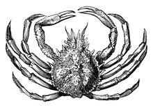 Spinous Spider Crab, Vintage I...