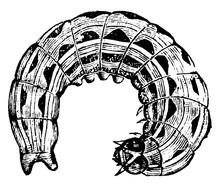Owlet Moth Larva, Vintage Illu...