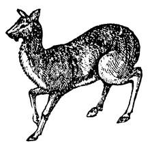 Musk Deer, Vintage Illustration.