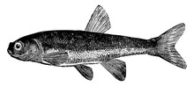 Minnow, Vintage Illustration.