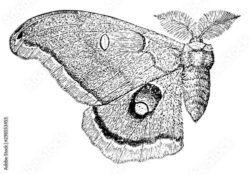 Polyphemus Moth, vintage illustration. Wallpaper Mural