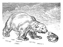 Polar Bears, Vintage Illustration.