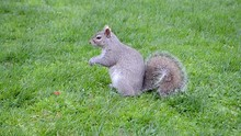 Squirrel With A Fluffy Tail On...