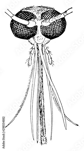 Photo Mosquito, vintage illustration.