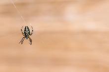 Brown Garden Spider On Cobweb With Beige Background