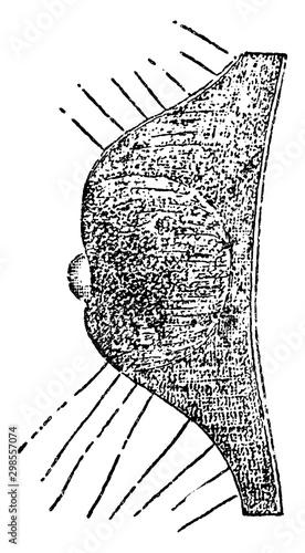 Ocellus, vintage illustration. Canvas-taulu