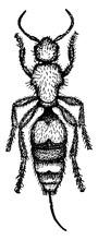 Velvet Ant, Vintage Illustration.